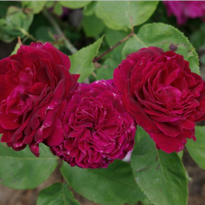 Dark red to dark purple - hybrid perpetual