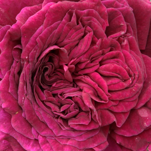 Rose Shopping Online - Purple - hybrid perpetual - intensive fragrance - Empereur du Maroc - Bertrand Guinoisseau-Flon - Its beautiful flower color is best kept in partial shade. Because its twigs are weak, it is best to grown behind a  support.