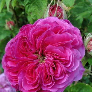 Rosa Duc de Cambridge - violet-rose - rosiers de Damas