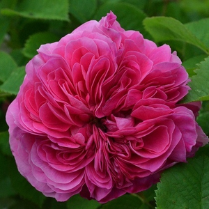 Malva - Rose Damascene