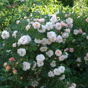 Pink - old garden roses