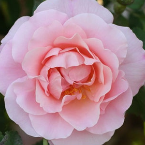 Rose Shop Online - old garden roses - pink - Fritz Nobis® - discrete fragrance - Wilhelm J.H. Kordes II. - It is an old and once blooming floribunda.