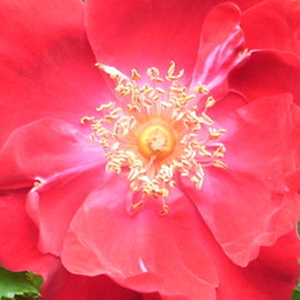Rose Shopping Online - Red - wild rose - no fragrance - Eddie's Jewel - J.H. Eddie - Without support, we can grow a large rose bush, but it can be grown as a climber.