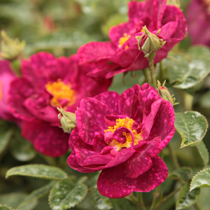 Crimson, purple mottling, pink undertones - gallica rose