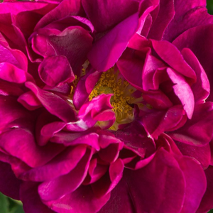 Buy Roses Online - Purple - gallica rose - discrete fragrance - Tuscany Superb - Thomas Rivers & Son Ltd. - Discreetly fragranted Gallic rose with spectacular yellow stemens. In autumn it develops decorative hips.