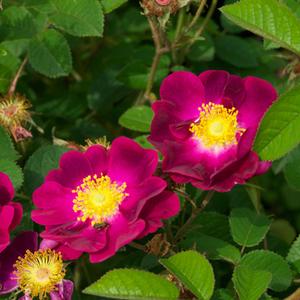 rosa violacea gallica rosen lila stark duftend. Black Bedroom Furniture Sets. Home Design Ideas