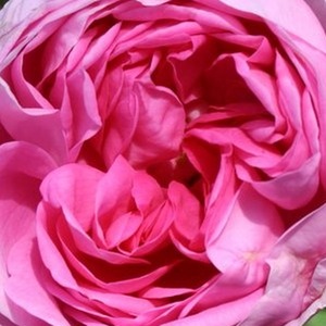Rose Shopping Online - centifolia rose - pink - Bullata - intensive fragrance - Duhamel - The leaves of this rose are similar to the leaves of the garden lettuce.This foliage gives the plant a special appearance after flowering.