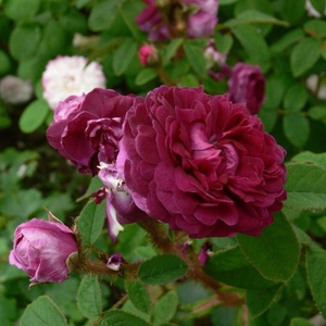 Deep purple - moss rose