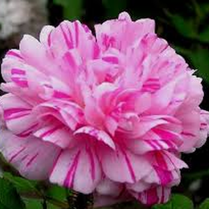 Vermilion, white stripes - moss rose