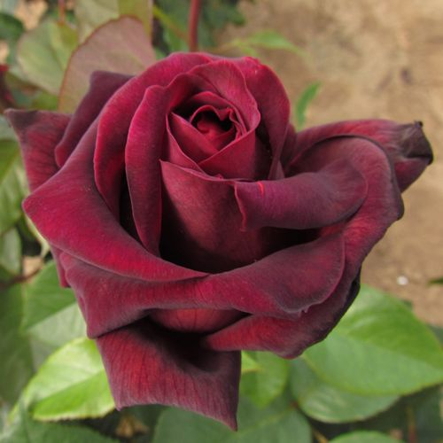 Rosa Sealed with a Kiss™ - červená - čajohybrid