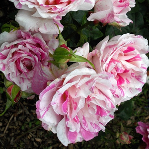 White, pink stripes - bed and borders rose - floribunda