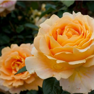 Cappuccino® - yellow - hybrid Tea