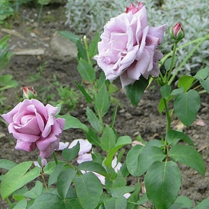 Purple - hybrid Tea