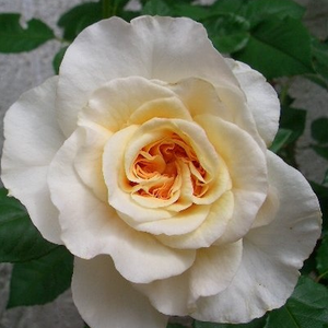 Its creamy-yellow flowers which reminiscent of old-fashioned roses, almost completely cover the shrubs.