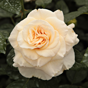 Height: 2,6-3,3 ft - Number of petals: 26-40