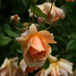 Crépuscule - yellow - noisette rose