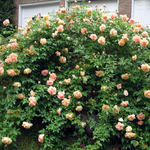 Apricot-yellow - noisette rose