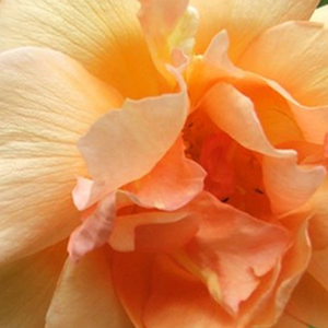 Rose Shop Online - noisette rose - yellow - Crépuscule - intensive fragrance - Francis Dubreuil - This is a noisette rose with repeating flowering and sweet fragrance. It can be grown as a short climber or as a decorative shrub.
