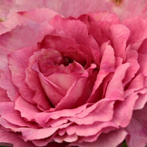 Buy Roses Online - Pink - bed and borders rose - floribunda - no fragrance - Csíkszereda - Márk Gergely - Due to its upright growing habit it is suitable to plant as a soliter.
