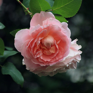 Delpabra - pink - bed and borders rose - floribunda