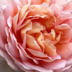 Rose Shopping Online - Pink - bed and borders rose - floribunda - discrete fragrance - Delpabra - Georges Delbard - This is a floribunda with intensive fragranced flowers and old fashioned bloom form.