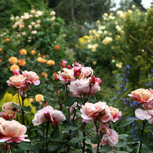 Mauve-orange - bed and borders rose - grandiflora - floribunda