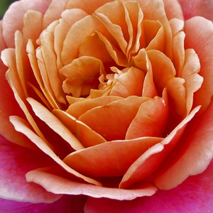 Roses Online - Distant Drums - bed and borders rose - grandiflora - floribunda - pink - orange - intensive fragrance - Dr. Griffith J. Buck - -
