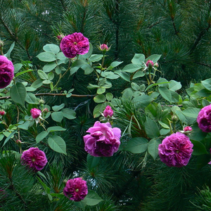 Purple - mauve - old garden roses