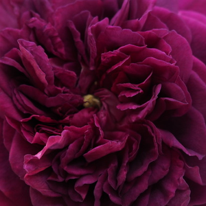Buy Roses Online - Purple - old garden roses - discrete fragrance - Erinnerung an Brod - Rudolf Geschwind - Its a mauve colored Geschwind rose with descreet scent.