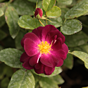 Purple - bed and borders rose - floribunda