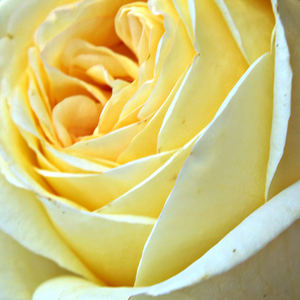 Buy Roses Online - Yellow - hybrid Tea - discrete fragrance - Golden Tower® - Rosen-Tantau - -