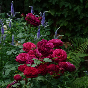 Purple - mauve - hybrid Tea