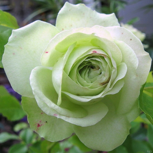 Lovely Green - rose - www.pharmarosa.co.uk