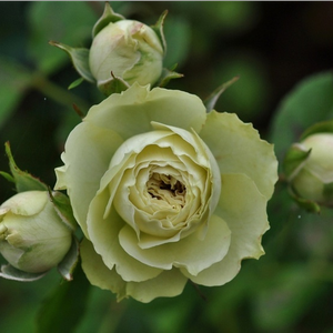 White, green undertones - bed and borders rose - floribunda