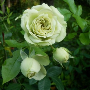 Lovely Green - white - bed and borders rose - floribunda