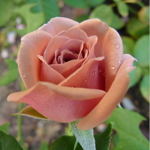 Koko Loco - brown - bed and borders rose - floribunda
