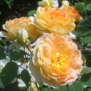 Yellow - english rose