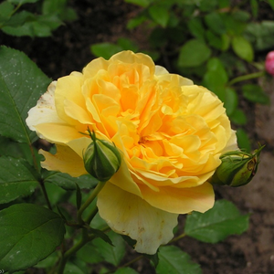 Smaller size english rose. It is suits for decoration of bed and borders or balkons