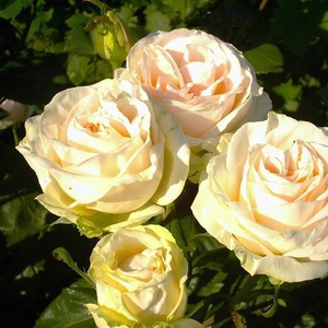Cream, green undertones - hybrid Tea
