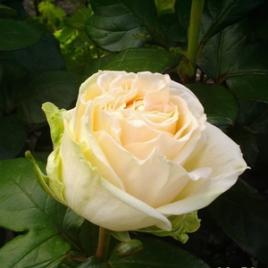 Mythos® - white - hybrid Tea
