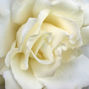 Buy Roses Online - White - hybrid Tea - discrete fragrance - Mythos® - Hans Jürgen Evers - -