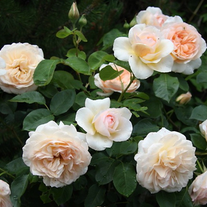 Peach-yellow - english rose