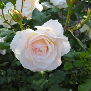 This rose has peach yellow flowers with old fashioned bloom form and intensive fragrance.
