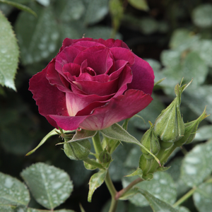 Princess Sibilla de Luxembourg - purple - climber rose