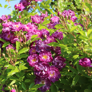 Deep purple - climber rose