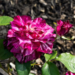 Mauve - bed and borders rose - floribunda