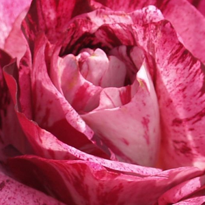 Rose Shop Online - bed and borders rose - floribunda - pink - Purple Tiger - moderately intensive fragrance - Jack E. Christensen - -