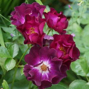 Purple, white center - bed and borders rose - floribunda
