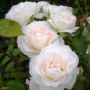 Cream - bed and borders rose - floribunda