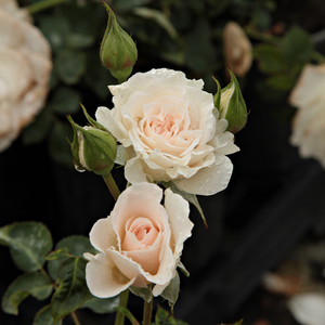 Sweet Blondie - white - bed and borders rose - floribunda